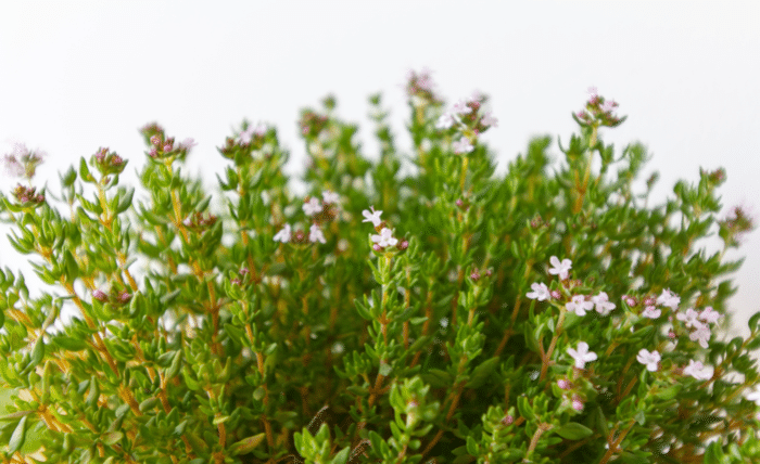 thyme_antiviral_colds_remedy